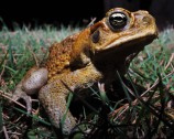 canetoad_shutterstock_494516566