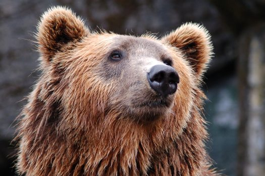 animal-bear-brown-bear-35435
